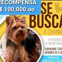 Aumentan recompensa por la perrita Channel en #Acapulco
